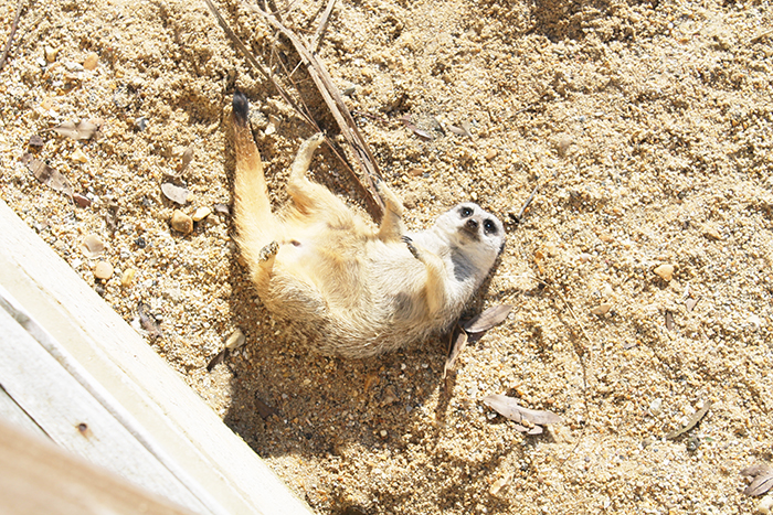 Meerkats at Illustrated Teacup Isle of Wight Zoo