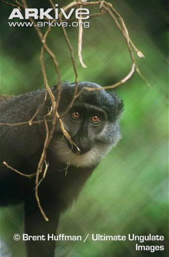 endangered african monkeys