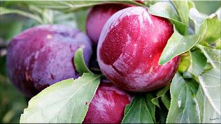 gambar buah prem