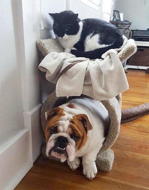 18 chú chó lẩn thẩn cứ nghĩ mình là loài mèo sang chảnh