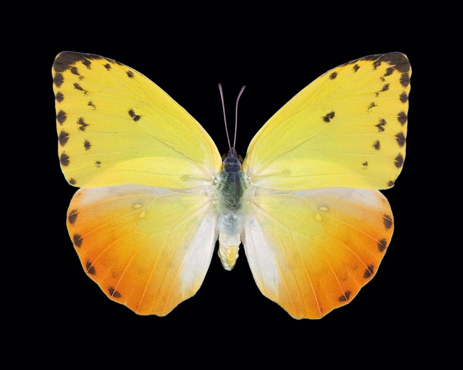yellow butterfly wallpaper free - photo #19