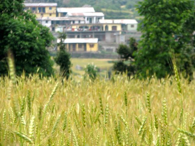 Barsu village against wheat fields