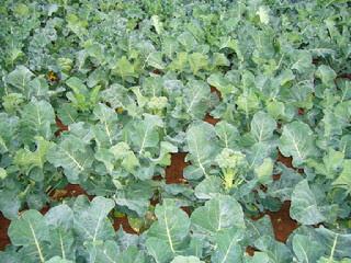 cara-menanam-brokoli.jpg