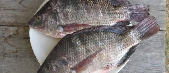 Gambar Ikan Mujair yang Beda dari Ikan Nila