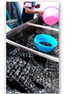1 kg telur jangkrik menghasilkan berapa
