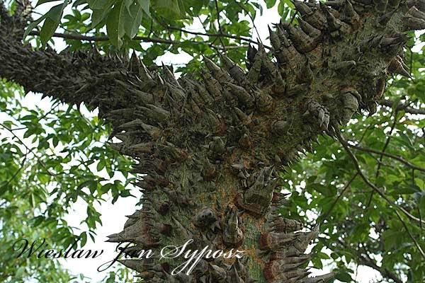 lost in Mato Grosso: silk-floss tree