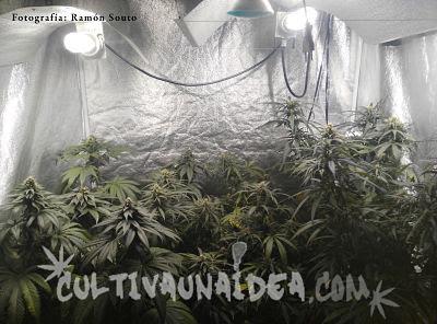 olor cannabis