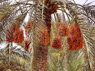 date palm tree and fruit pictures