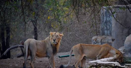 Gir: the last home of Asiatic Lions