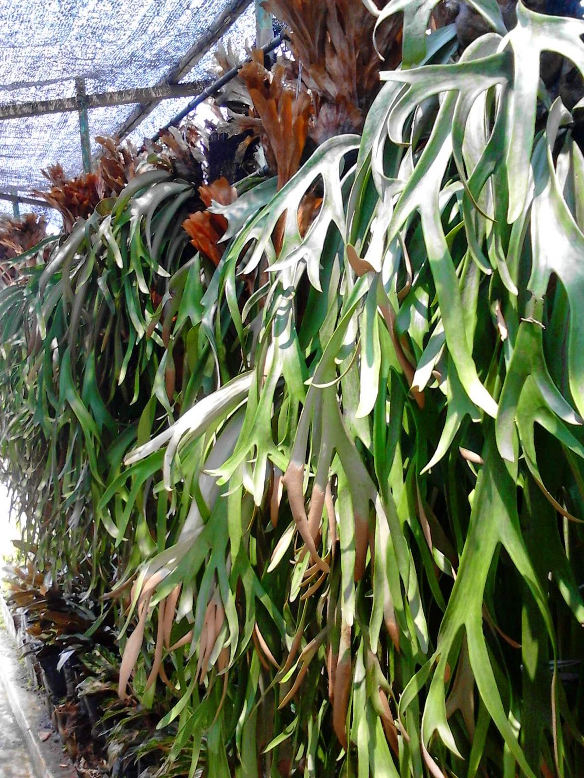 Jual Tanaman Tanduk Rusa | Jual Aneka Pohon Paku | Jual Tanaman Online