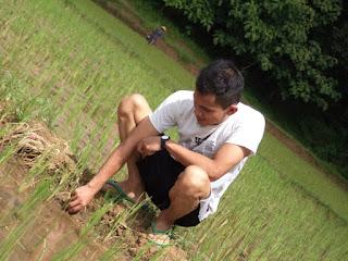 belajar menjadi petani padi edisi memanen padi