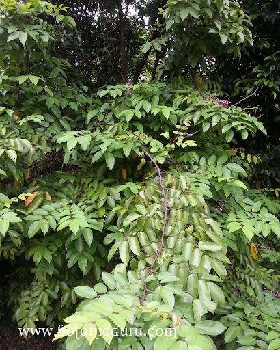 Averrhoa carambola, Starfruit tree