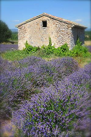 Pennywise Lavender Sweet Lavender