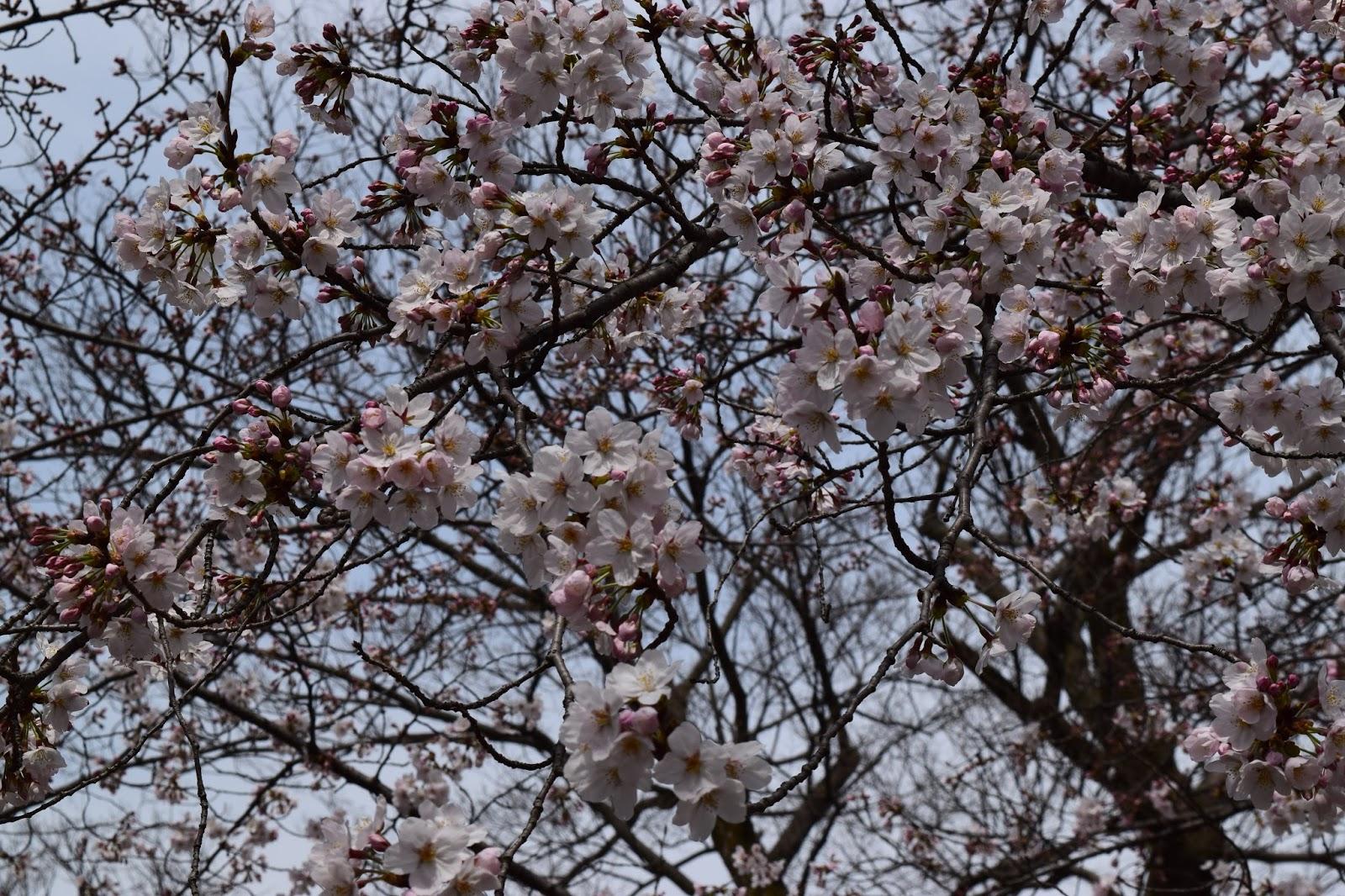 Sakura Toji
