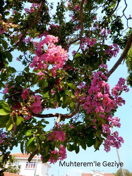 oya ağacının çiçeği