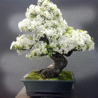 شجرة بونساي 6