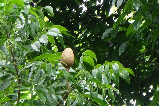 Dlium Mahogany (Swietenia macrophylla)