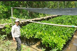 buah mangrove disekitar lokasi penanaman banyak Kabar Terbaru- CARA PEMBIBITAN MANGROVE