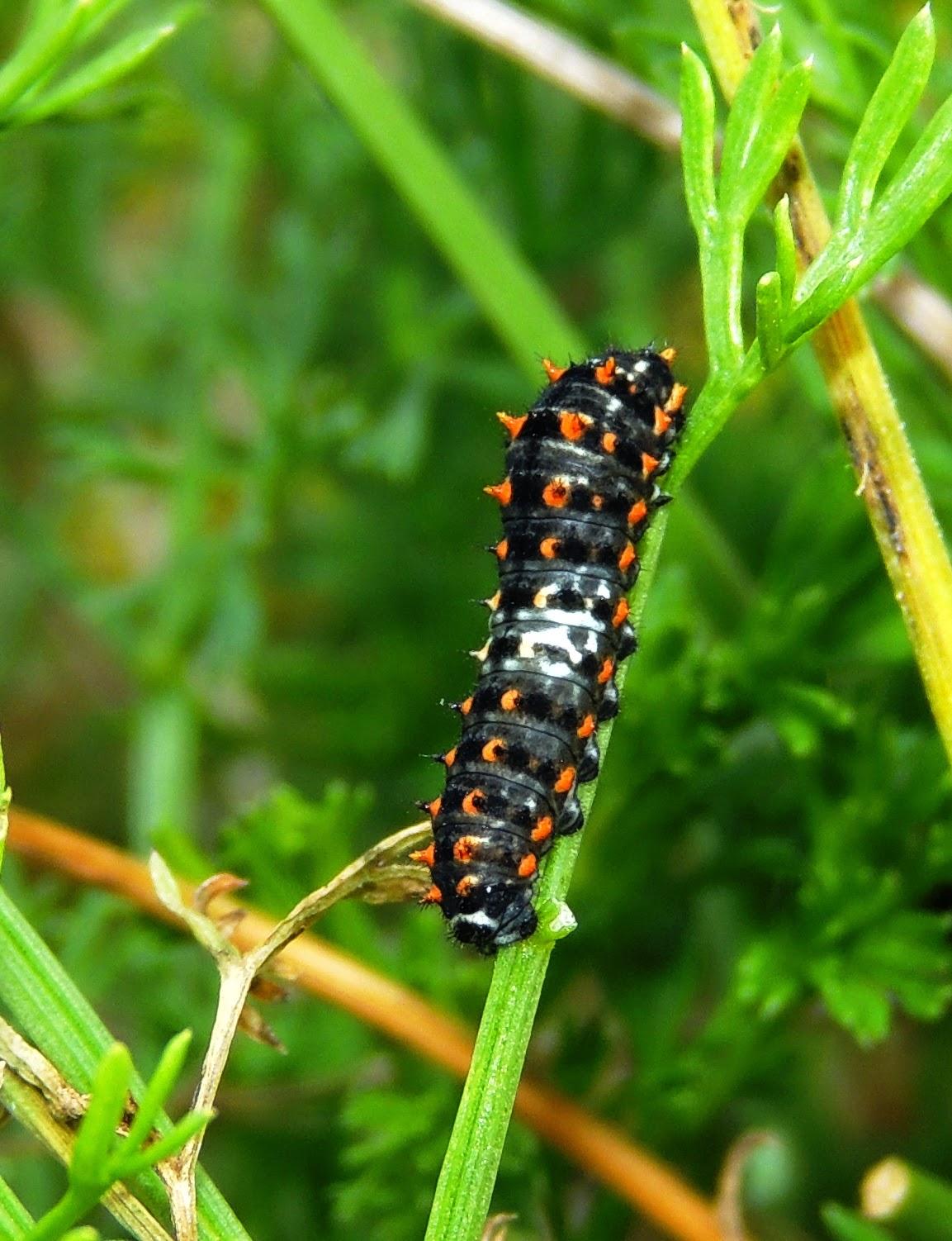 Oruga de Papilio machaon instar inicial