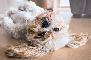 Anjing yang sedang berguling