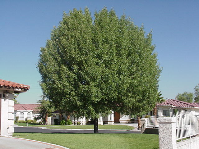 Ash Trees For The Most Part Make A Great Shade Tree Some Of Older Varieties Can Get Bit Too Large Single Story Homes