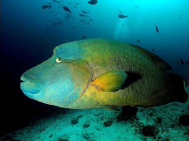 Ikan Napoleon