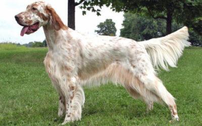 Morsorosso razze canine ideali per bambini for Setter irlandese carattere