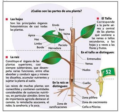 Conocimiento del medio 5 ceip san antonio partes b sicas for Las partes de un arbol en ingles