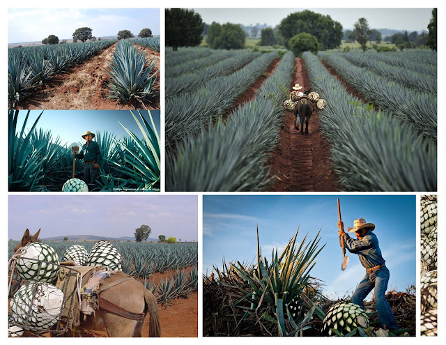 agave,tequila,champ,mexique,jalisco,comment,distillation,madamegin,madame-gin