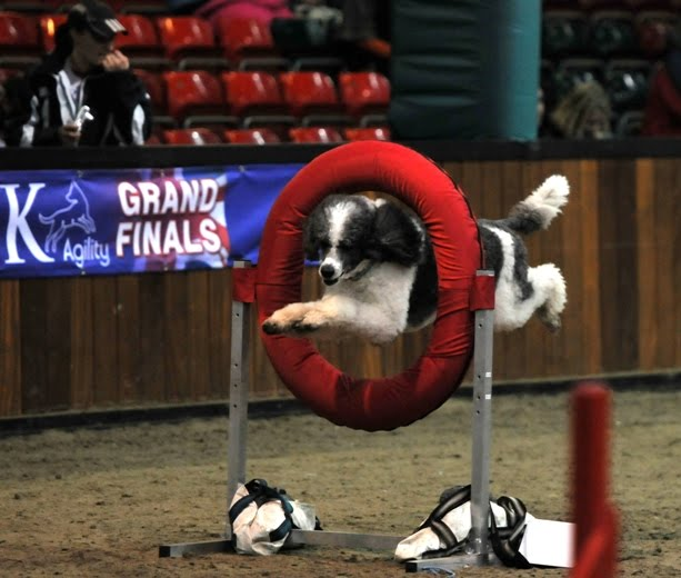 Poodle Blogger: Parti Poodle Takes Top Honors at U K  Agility Grand