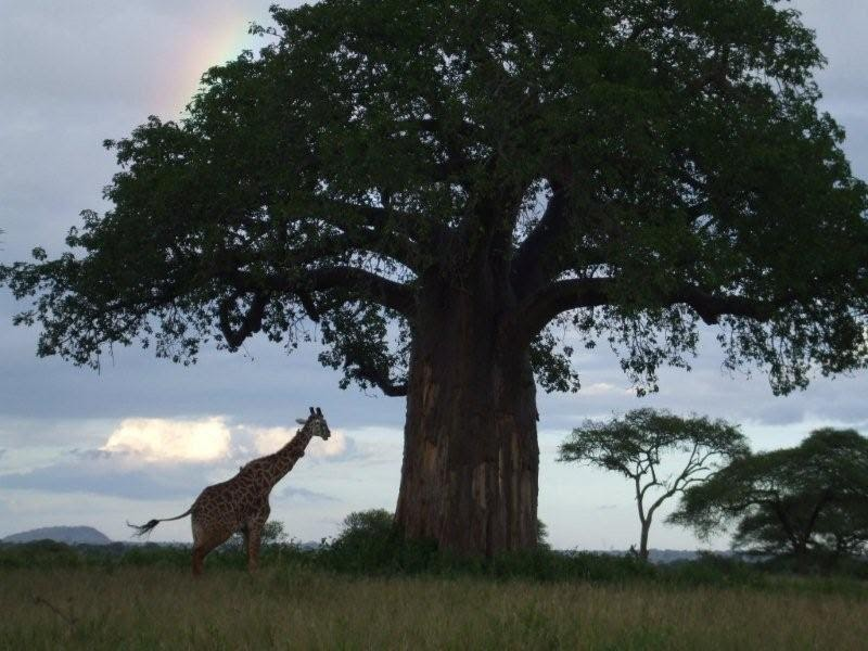 Safari Ecology How Old Is A Baobab