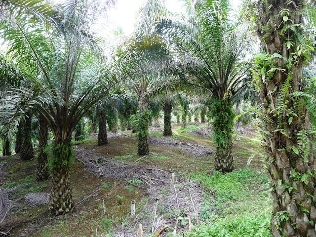 Tronco e Foglie Palma da Olio