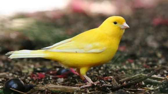 Download Suara Burung Kenari Gacor Durasi Panjang Mp3