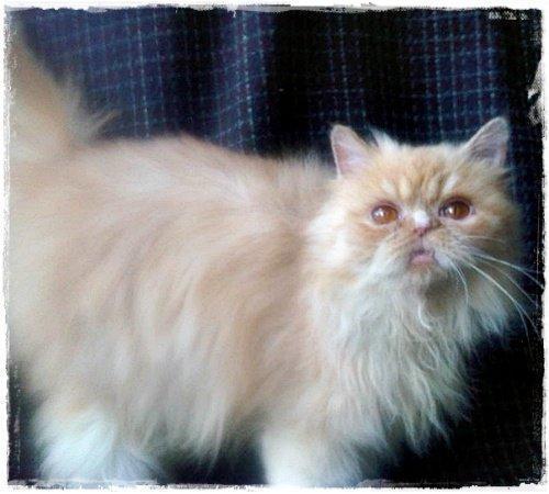 gambar kucing persia  XTRA TWO