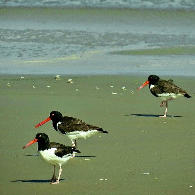 Grupo de piru pirus, junto ao mar de Tavares - Parque Nacional da Lagoa do Peixe