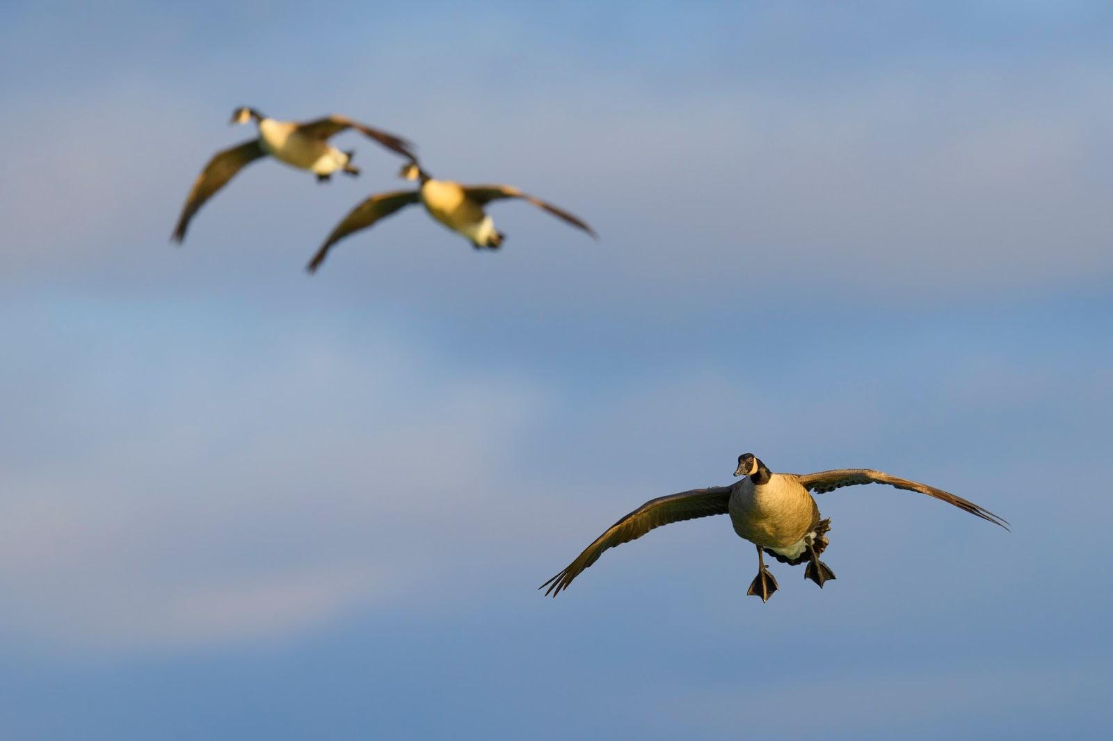 Canada Goose Dibest