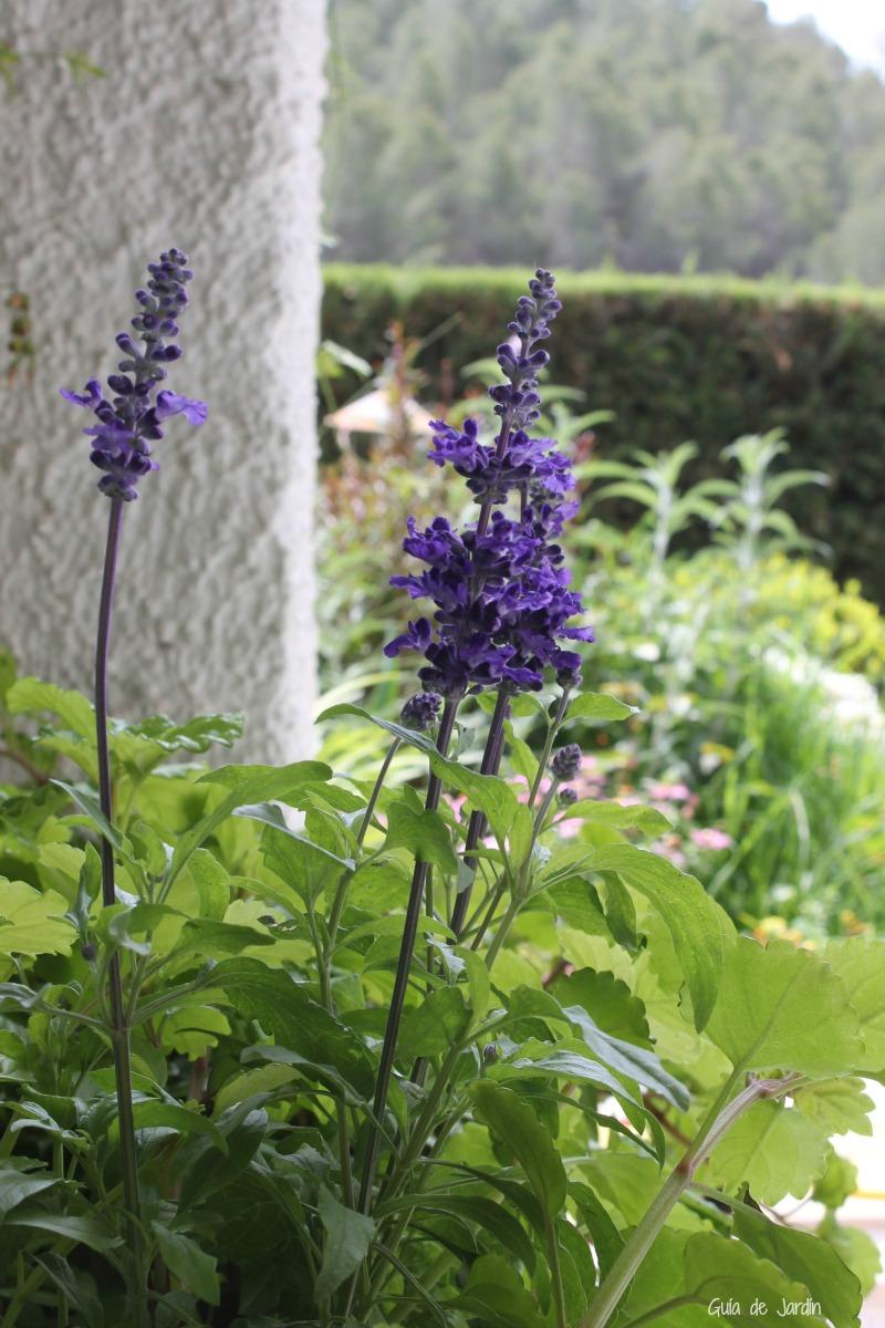 Salvia farinacea en mi jardín
