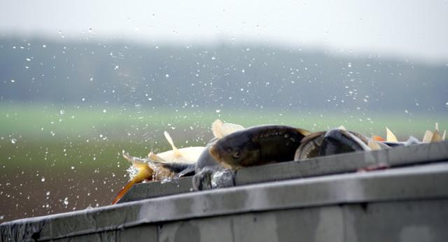 Karpfen im überfüllten Wassertank