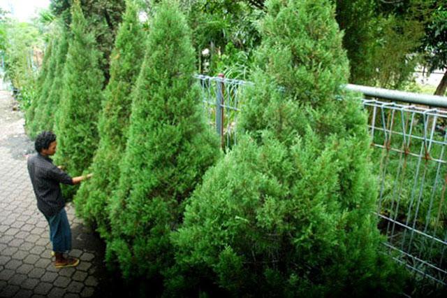 Pohon Cemara, Pohon Kristen yang Harus Ditebang?
