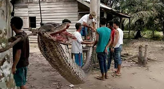 Giant python attacks Indonesian man before being eaten