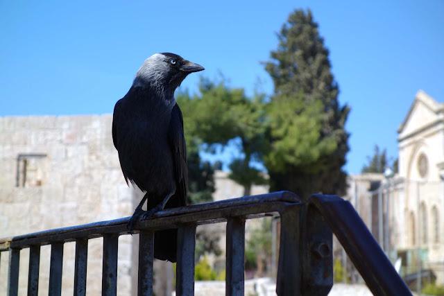 Choucas des Tours posé sur une rambarde - Remparts de la vieille ville de Jérusalem
