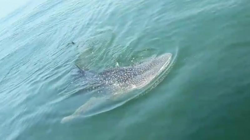 Penampakan hiu paus atau hiu tutul di Teluk Jakarta