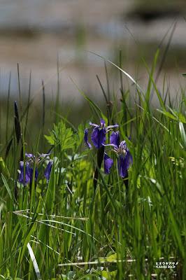 ヒオウギアヤメ ≪Arctic Iris≫