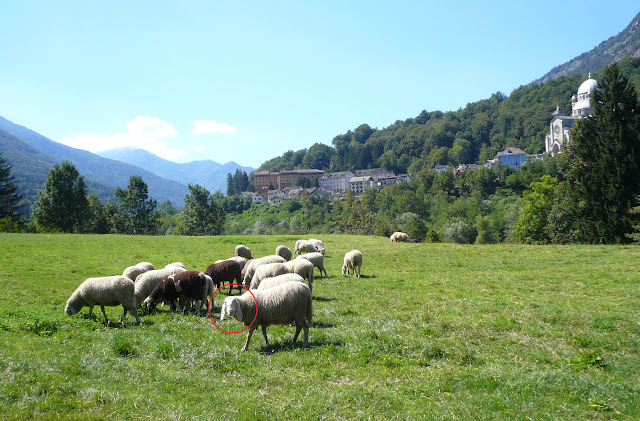pecore-fuga-folle-di-corsa