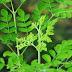 Benefícios de folhas de Moringa para a diabetes