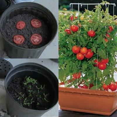 Jom Tanam Pokok Tomato Dalam Pasu....