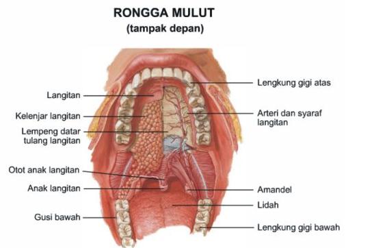 Anatomi Dan Fisiologi Sistem Organ Pencernaan Pada Manusia Generasi Biologi