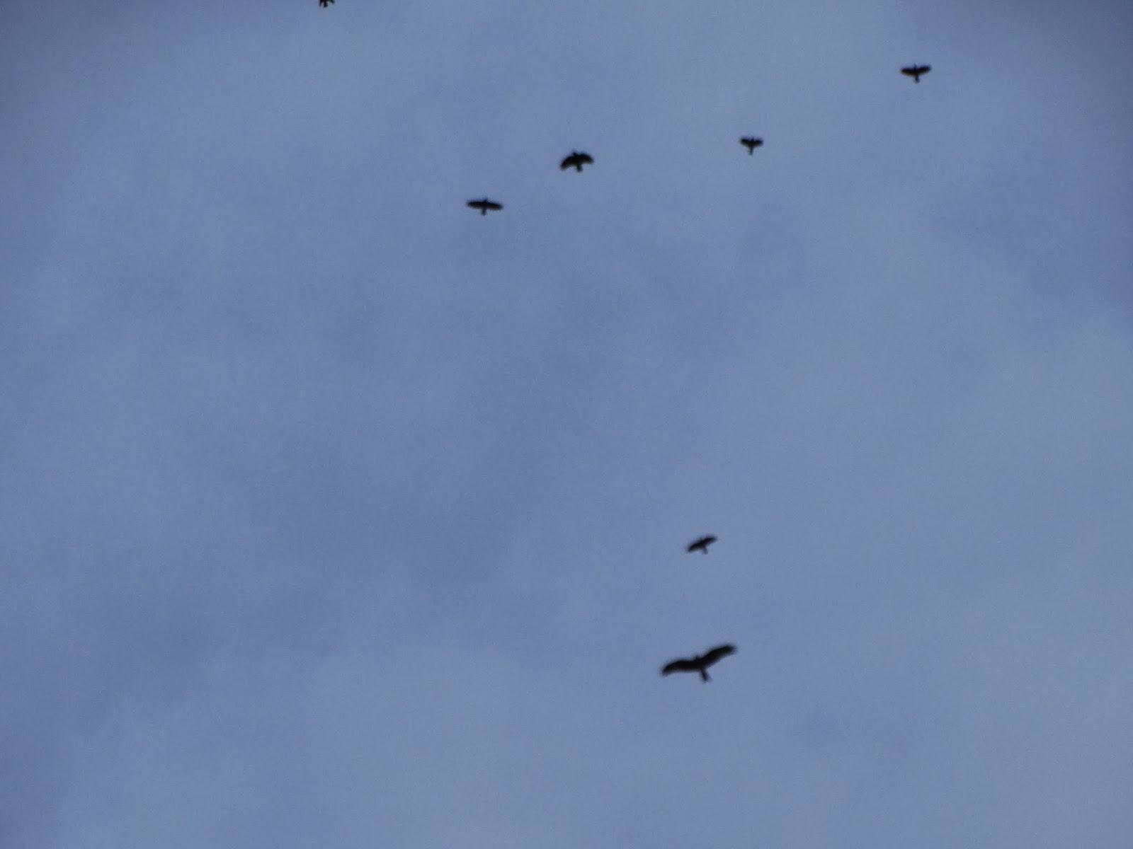 Pembrokeshire Birds: Fishguard Harbour/Outer Breakwater