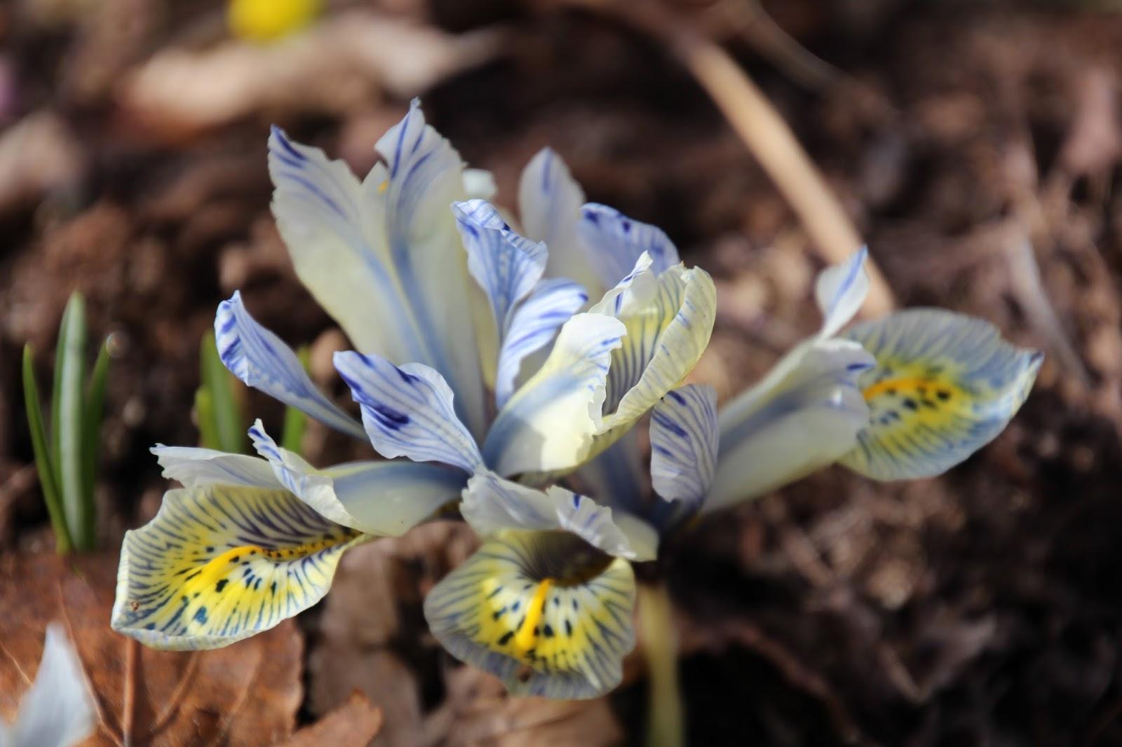 Våriris Iris reticulata ´Katharine Hodgkin´