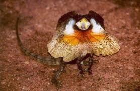 Kadal Leher Rumbai atau Frilled Lizard